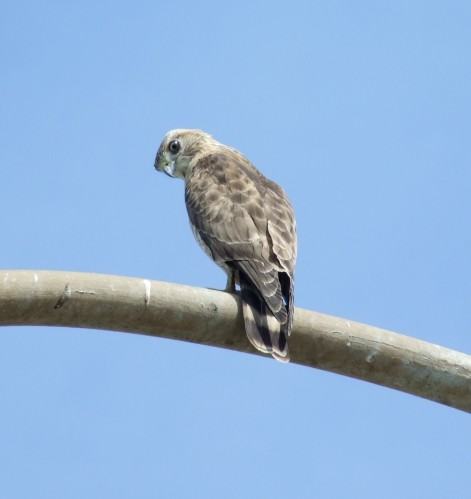 Unidentified Hawk ( view one)