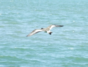 Bird flying over Boca Ciega Bay in FL near the Gulf or Mexico